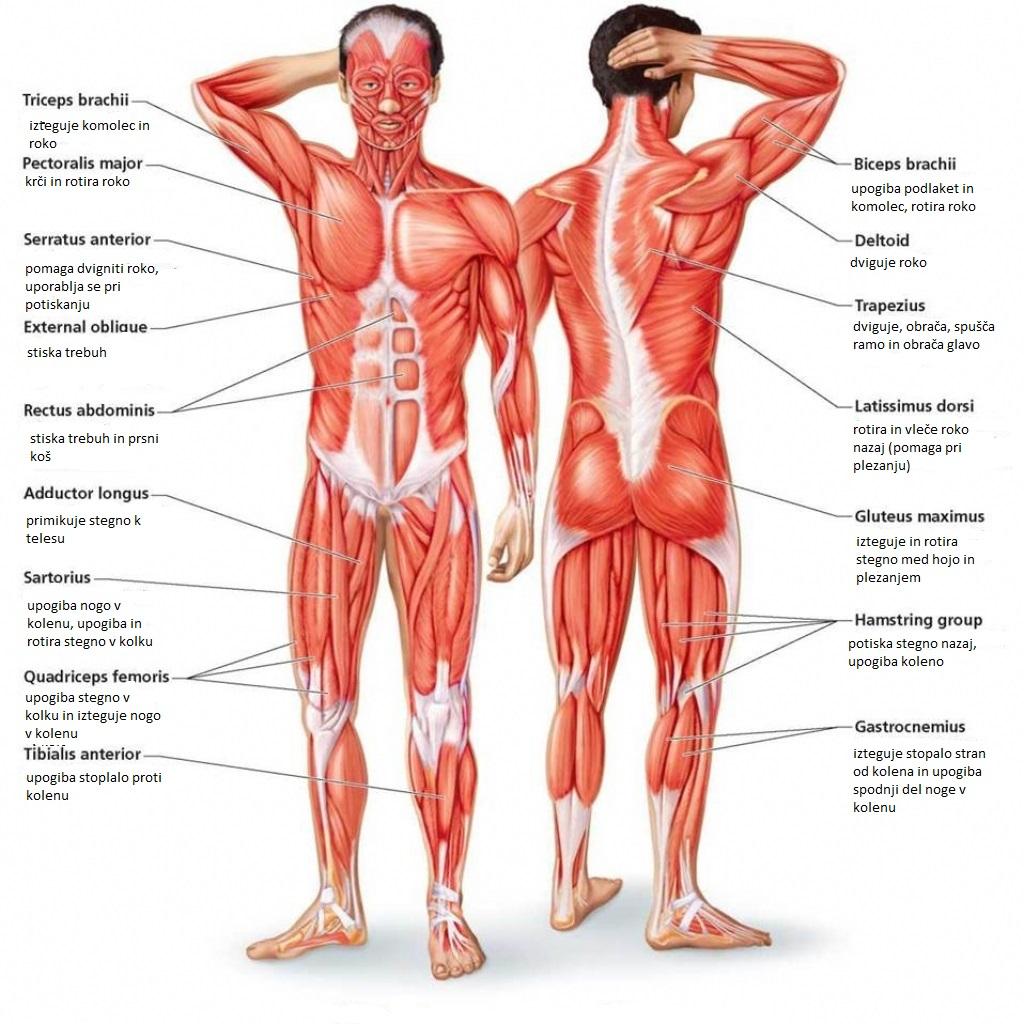Osnovne mišice